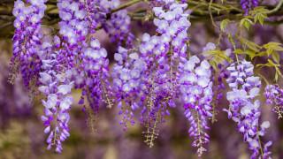 цветы, глициния, вистери