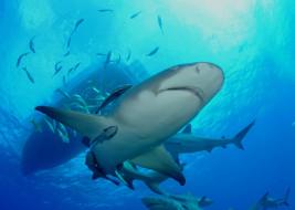 море, подводный, вода, обитатели, shark, акула, рыба, хищник, океан, глубина, опасность, пасть, зубы