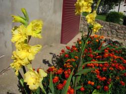 цветы, гладиолусы, желтый