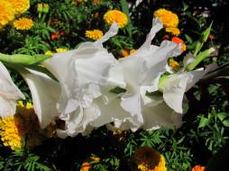 цветы, гладиолусы, белый