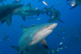 животные, акулы, рыба, хищник, глубина, океан, море, вода, пасть, зубы, опасность, обитатели, подводный, акула, shark
