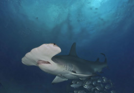 опасность, обитатели, зубы, пасть, океан, хищник, рыба, акула, подводный, глубина, вода, море, shark