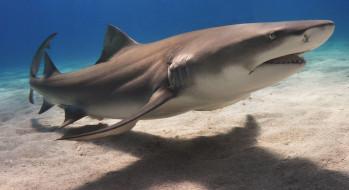 животные, акулы, shark, акула, рыба, хищник, океан, море, вода, глубина, подводный, обитатели, опасность, пасть, зубы