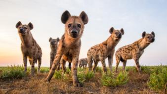 животные, гиены,  гиеновые собаки