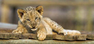 животные, львы, доски, львенок