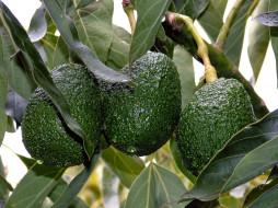 природа, плоды, авокадо