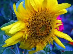 цветы, подсолнухи, макро