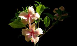 цветы, гибискусы, розовый