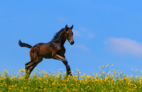 животные, лошади, жеребенок, небо, луг, цветы