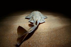 squatina, животные, акулы, ангел, shark, акула, рыба, хищник, океан, море, вода, глубина, подводный, обитатели, опасность