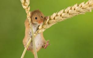 животные, крысы,  мыши, фон, мышка, колоски, колосья, грызун, мышь-малютка