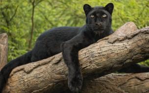 животные, леопарды, взгляд, лапа, леопард, бревно, дикая, кошка, чёрная, пантера