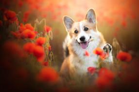 животные, собаки, язык, цветы, маки, собака, мордашка, боке, пёсик, лапка, вельш-корги