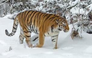 животные, тигры, зима, снег, деревья, тигр, дикая, кошка