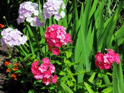 цветы, флоксы, соцветия