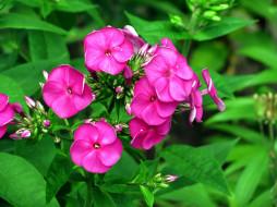 цветы, флоксы, розовый
