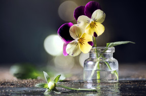 цветы, анютины глазки , садовые фиалки, букетик, боке