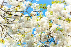 цветы, сакура,  вишня