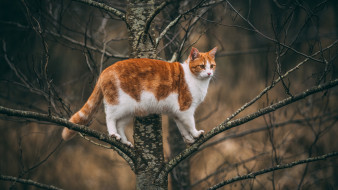 животные, коты, рыжий, кот