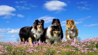 животные, собаки, луг, цветы