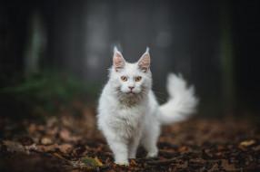животные, коты, осень, лес, кошка, белый, кот, взгляд, листья, природа, поза, темный, фон, хвост, прогулка, стоит, мордашка, кисточки, боке