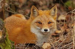 животные, лисы, взгляд, морда, лиса, рыжая, сухая, трава