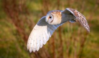 животные, совы, фон, сова, птица, крылья, полёт, сипуха