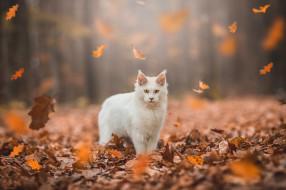 животные, коты, осень, лес, кошка, белый, кот, взгляд, листья, свет, природа, парк, листва, желтые, стоит, мордашка, листопад, боке