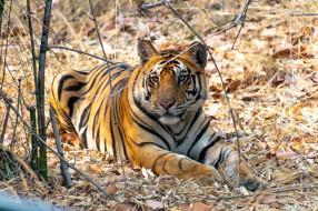 тигр, животные, тигры, хищник, кошка