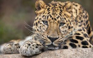 животные, леопарды, морда, фон, портрет, леопард, дикая, кошка, вгляд