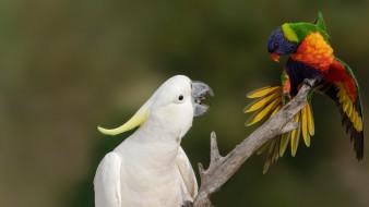 животные, попугаи, птицы, ары, ветка