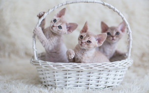 животные, коты, взгляд, котята, малыши, корзинка, трое