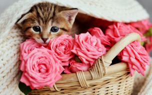 животные, коты, розы, малыш, розовые, корзинка