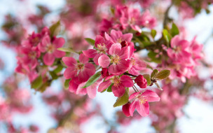 природа, вишня, ветка, весна