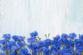 васильки, цветы, фон