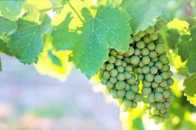 природа, ягоды,  виноград, виноград, незрелый, зеленый, виноградник