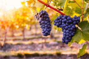 природа, ягоды,  виноград, куст, виноград, гроздь