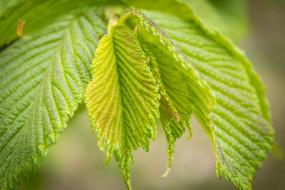 природа, листья, лист, слоение, весна, май, дерево