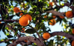 природа, плоды, мандарины