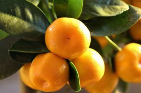 природа, плоды, цитрусовые, mitis, дерево, фруктов