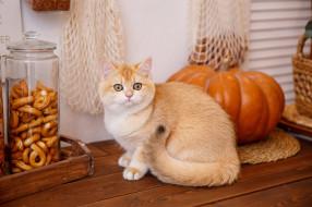 животные, коты, кошка, тыква, сухофрукты