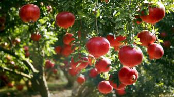 природа, плоды, гранаты