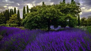 природа, парк, деревья, клумба, лаванда