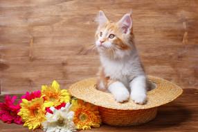 животные, коты, цветы, шляпа, киса