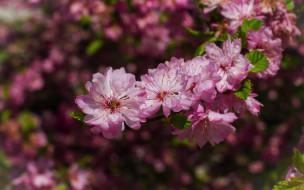 цветы, ветка, весна, розовые, цветение, миндаль, боке