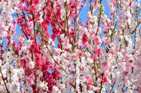 обои для рабочего стола 2048x1365 цветы, сакура,  вишня, весна, цветение