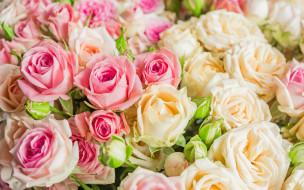 цветы, розы, букет, розовые, бежевые