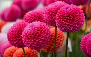 обои для рабочего стола 2880x1800 цветы, георгины, розовый