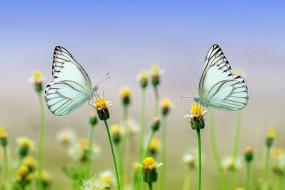 животные, бабочки,  мотыльки,  моли, макро, цветы, природа