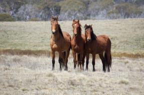 животные, лошади, гнедые, луг